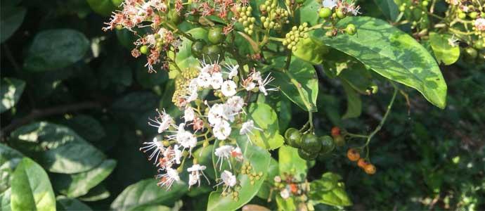 Hoa quả cây xạ đen