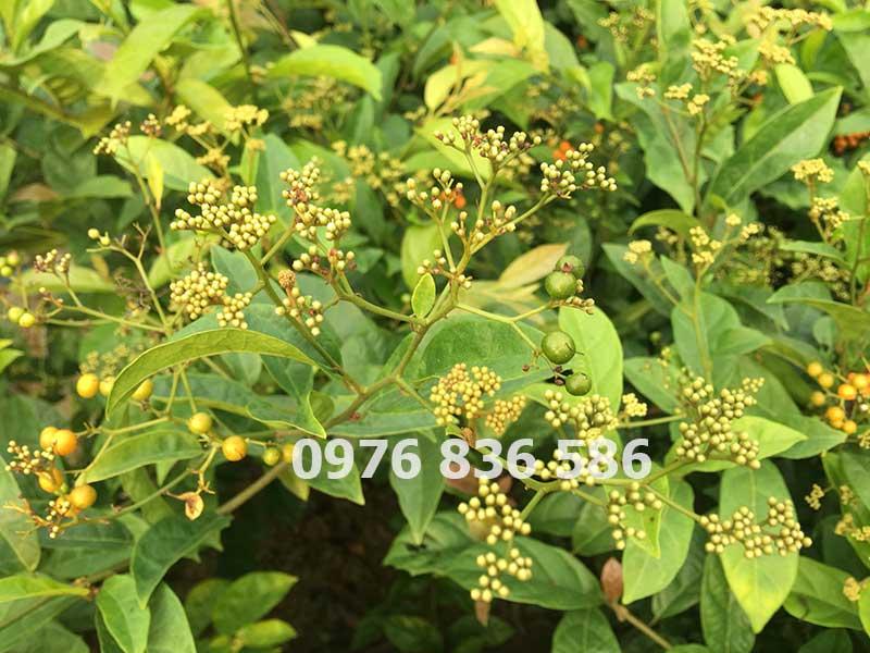 Hình ảnh hoa và quả non cây xạ đen